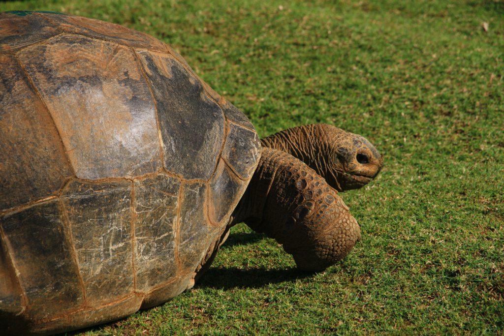Reuzenschildpad Mauritius